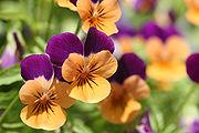 Флавоноїди роблять красивими квіти і шкіру